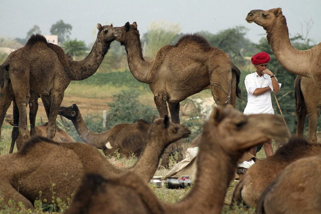 An Indian camel herder stands among camels as he arrives for the annual cattle fair in Pushkar, in the western Indian state of Rajasthan, Wednesday, November 6, 2013. Pushkar, located on the banks of Pushkar Lake, is a popular Hindu pilgrimage spot that is also frequented by foreign tourists who come to the town for the annual cattle fair and camel races. (Photo by Deepak Sharma/AP Photo)
