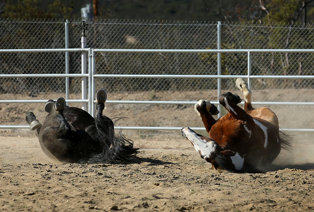 U.S. Border Patrol horses Hollywood (L) and Apache roll in the dirt at their patrol station in Boulevard, California, U.S November 12, 2016. (Photo by Mike Blake/Reuters)