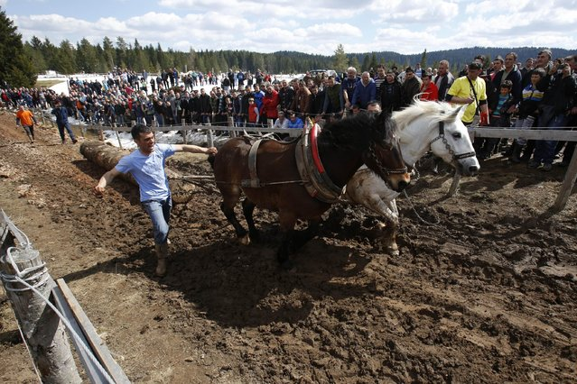 A Bosnian man urges jis horses to pull logs up  a hill during a competition in the Bosnian town of Sokolac 50 kms west of Sarajevo, Bosnia,on Monday, April, 13, 2015. (Photo by Amel Emric/AP Photo)