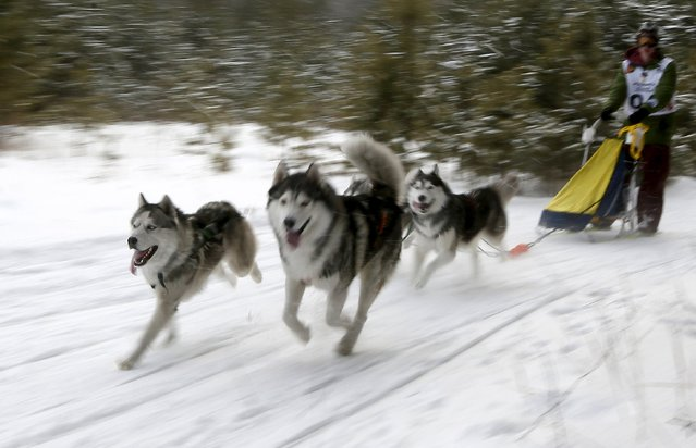 """A contestant races his Siberian Husky dogs during the """"Kara-Dag 2016"""" open amateur dog sled and skijoring race near the village of Yelovoye in Taiga district, outside Krasnoyarsk, Siberia, Russia, February 21, 2016. (Photo by Ilya Naymushin/Reuters)"""