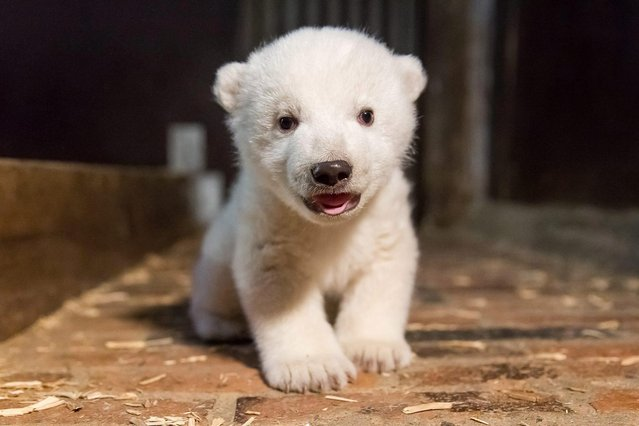 A handout photo issued by Berlin's Tierpark Zoo, showing the yet unnamed polar bear cub during an inspection to determine its condition and s*x, Berlin, Germany, late 12 January 2017. (Photo by EPA/Tierpark Berlin)