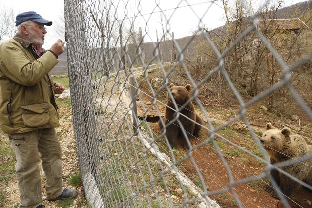 In this photo taken on Saturday, April, 4, 2015  Ivan Crnkovic-Pavenka feeds bears at a shelter that attracts hundreds of visitors and volunteers from around the world every year, in Kutarevo, Croatia. (Photo by Amel Emric/AP Photo)