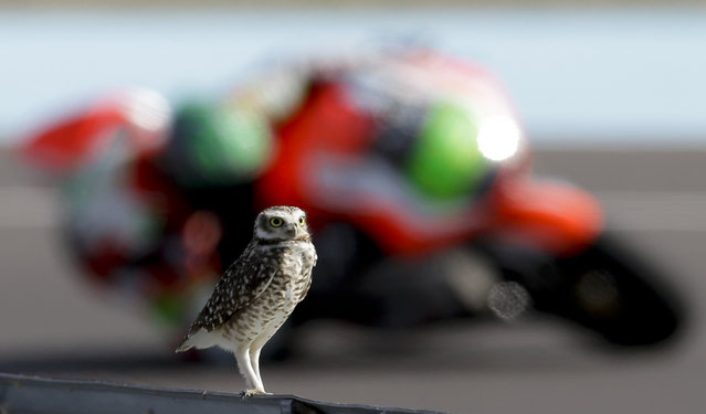A moto rides past a bird perched on track railing, during a Moto2 qualifying classification at the Termas de Rio Hondo circuit in Argentina, Saturday, April 18, 2015. Argentina's Motorcycle Grand Prix will take place Sunday. (Photo by Natacha Pisarenko/AP Photo)