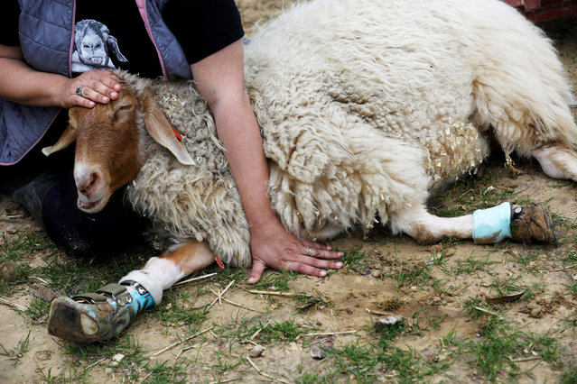 "Meital Ben Ari, a co-founder of ""Freedom Farm"" pats Gary, a sheep with leg braces, at the farm which serves as a refuge for mostly disabled animals in Moshav Olesh, Israel on March 7, 2019. (Photo by Nir Elias/Reuters)"
