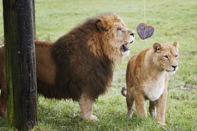 Mating African Lions Dudley and Saskia enjoy a Valentine's Day heart made from frozen horse blood at Blair Drummond Safari Park in Scotland. (Photo by Danny Lawson/PA Wire)