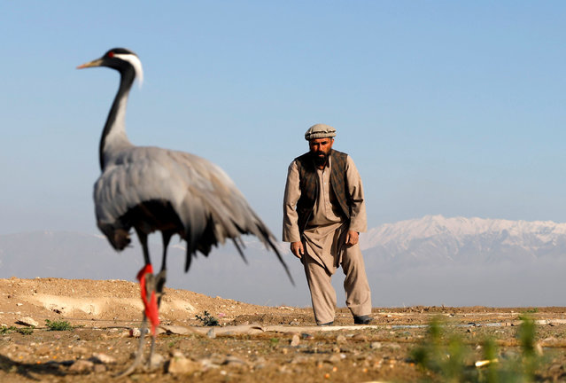 Jan Agha, 49, an Afghan hunter, tries to catch his crane at a field in Bagram, Parwan province, Afghanistan on April 10, 2019. (Photo by Mohammad Ismail/Reuters)