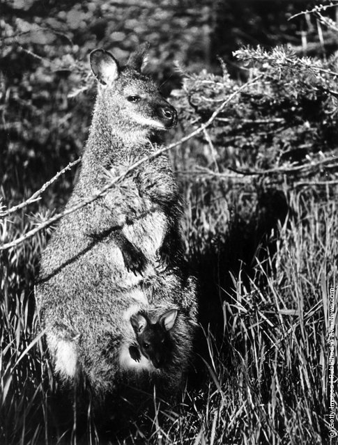 A wallaby, a small species of kangaroo with a baby or joey in its pouch