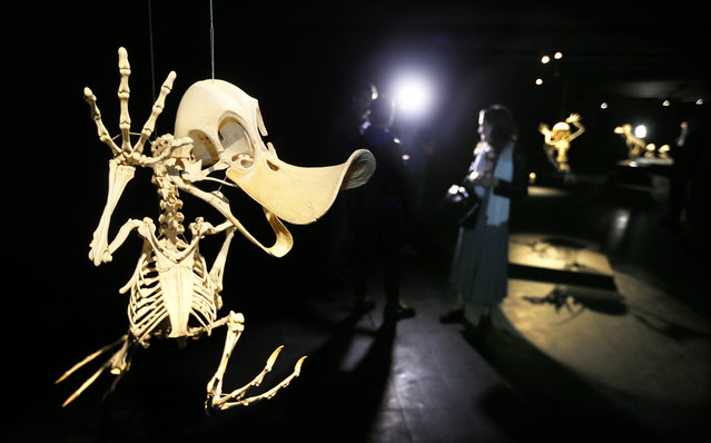 """The work """"Anas Animatus"""", a comic-strip Donald Duck character, is on display as skeleton during the press preview of the exhibition """"Animatus"""" by South Korean artist Hyungkoo Lee in Moscow, Russia, May 20, 2015. (Photo by Yuri Kochetkov/EPA)"""