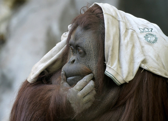 Sandra, a 29-year-old orangutan at Buenos Aires' zoo, on May 20, 2015. Sandra got cleared to leave a Buenos Aires zoo that was her home for 20 years, after a court ruled she was entitled to more desirable living conditions. (Photo by Juan Mabromata/AFP Photo)