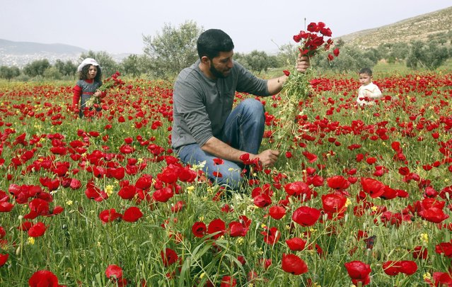 Palestinian Mohamad Abu Thabet collects anemone coronaria flowers with his children at a field in the West Bank village of Beit Dajan near Nablus, April 5, 2016. (Photo by Abed Omar Qusini/Reuters)