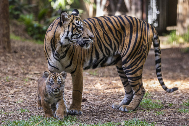 In this Tuesday, April 26, 2016 photo provided by the San Diego Zoo Safari Park, adult Sumatran tiger Joanne and her cub make a public debut in the maternity exhibit at Tull Family Tiger Trail at San Diego Zoo Safari Park in Escondido, Calif. Visitors got their first glimpses Tuesday of multiple cubs as they romped and munched on plants in their habitat. (Photo by Ken Bohn/San Diego Zoo Safari Park via AP Photo)