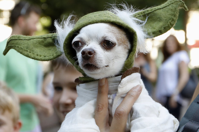 "A dog dressed as Yoda from ""Star Wars"" won the cosplay costume contest award at Doggy Con in Woodruff Park, Saturday, August 17, 2019, in Atlanta. Cosplay is the practice of dressing up like a fictional character. (Photo by Andrea Smith/AP Photo)"