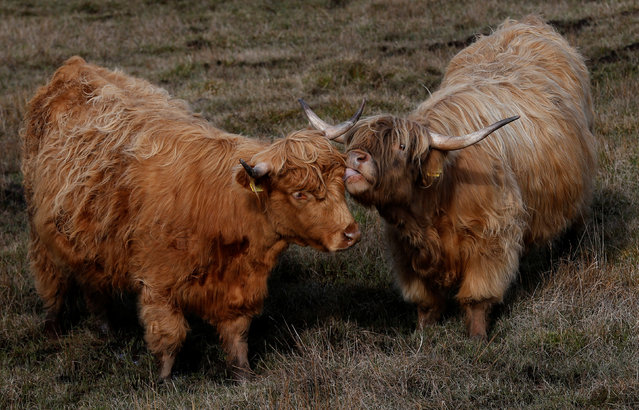 Highland cattle stand in a field on the Isle of Lewis and Harris, an island off the northwestern tip of Scotland in the Outer Hebrides, Britain April 28, 2016. (Photo by Russell Cheyne/Reuters)