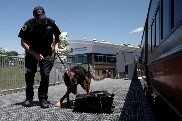 Metropolitan Transit Authority (MTA) Police Officer Kevin Pimpinelli works with his K-9 partner Johnny, a German Shepherd, during a simulated bomb search outside a dedicated Metro-North Railroad commuter train car permanently installed for training at the new MTA Police Department Canine Training Center in Stormville, New York, U.S., June 6, 2016. (Photo by Mike Segar/Reuters)