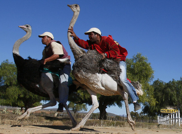 """In this Sunday, June 27, 2010 file photo two men compete in an ostrich race at Highgate ostrich farm in Oudtshoorn, South Africa. Clambering onto an ostrich for a ride used to be popular among tourists in a South African town of  Oudtshoorn known of  as the  """"ostrich capital of the world"""". Not so much anymore. Two major ostrich farms in Oudtshoorn have stopped offering ostrich rides to tourists, responding to concerns about the birds' welfare. A third farm is sticking with the feature, saying it is regulated and that ostriches do not experience discomfort.. The Highgate farm, however, continues to offer ostrich rides. (Photo by Shuji Kajiyama/AP Photo)"""
