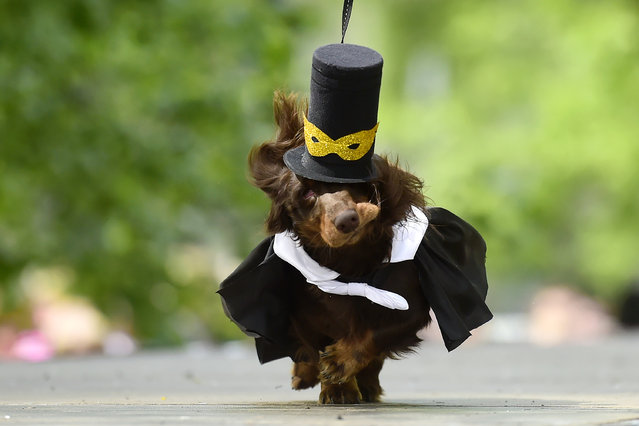 A dachshunds is dressed in an outfit as it is shown off during the eighth annual Dachshunds Parade in Saint Petersburg on May 25, 2019. (Photo by Olga Maltseva/AFP Photo)