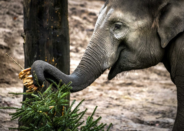 An elephant plays with a Christmas trees at the Amersfoort Zoo, in Amersfoort, The Netherlands, 04 January 2020. Visitors brought their Christmas trees to the zoo, where they are fed to various animals. (Photo by Remko de Waal/EPA/EFE)