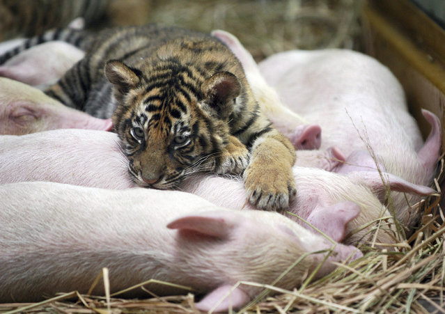 A tiger cub climbs over piglets at a park in Guangzhou, south China's Guangdong March 13, 2007. The tiger cub was abandoned by its mother and is being raised by a sow. (Photo by Reuters/China Daily)