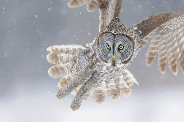 This beautiful owl was photographed in Ontario, Canada during a heavy snowstorm