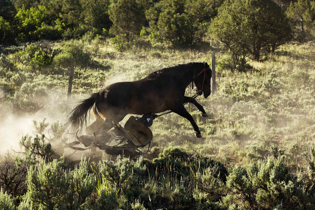 A horse bucks as it tries to run from a saddle that had become loose during preparations to gather cattle near Ignacio, Colorado June 12, 2014. The land where the cattle graze is leased from the Forest Service by third-generation rancher Steve Pargin. Several times a year, he and a crew led by his head cowboy, David Thompson, spend a week or more herding cattle from mountain range to mountain range to prevent them from causing damage to fragile ecosystems by staying in a single area too long. (Photo by Lucas Jackson/Reuters)