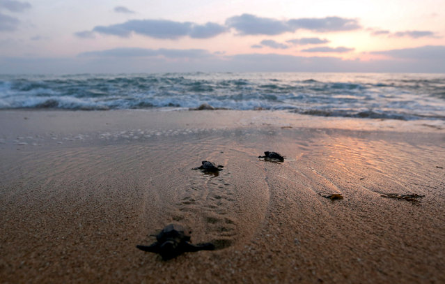 Baby sea turtles crawl to the sea at a seashore in El-Mansouri village, near the southern city of Tyre, Lebanon July 24, 2017. (Photo by Jamal Saidi/Reuters)