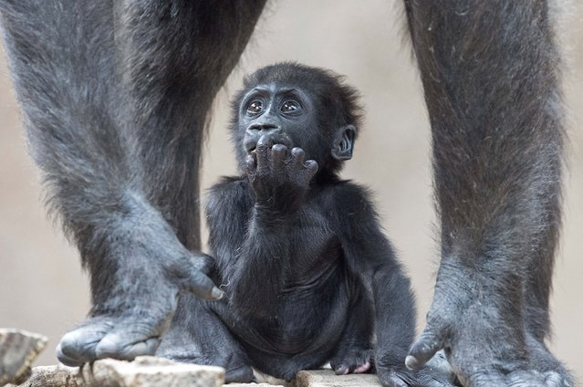 Baby gorilla Diara relaxes between the legs of its mother Kumili at the Zoo in Leipzig, Germany, Tuesday, August 5, 2014. Diara was born during the night between March 10 and 11, 2014. (Photo by Jens Meyer/AP Photo)
