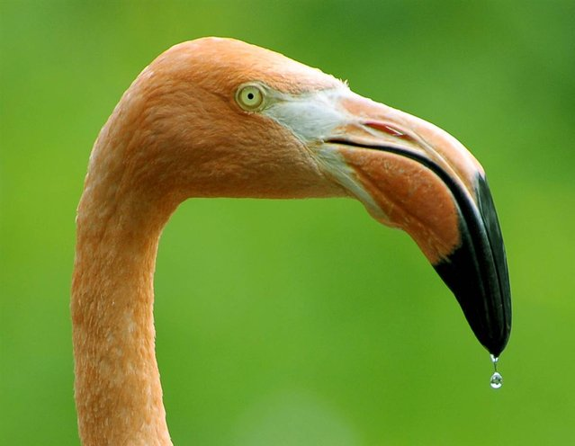 A flamingo is photographed at the Dresden Zoo on July 31, 2012. (Photo by Matthias Rietschel/AP)