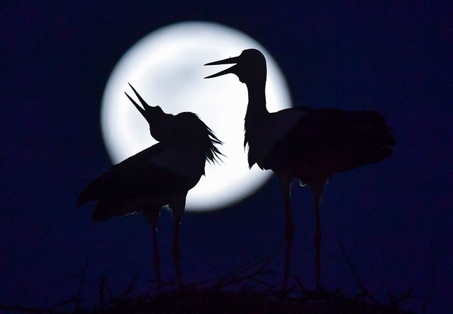 The Super Pink Moon rises behind the storks in their nest in the village of Rzanicino near Skopje, Republic of North Macedonia, 07 April 2020. The Fullmoon is in fact closer than usual and appears a little larger and around 15 percent brighter. It is the third supermoon in 2020. (Photo by Georgi Licovski/EPA/EFE)