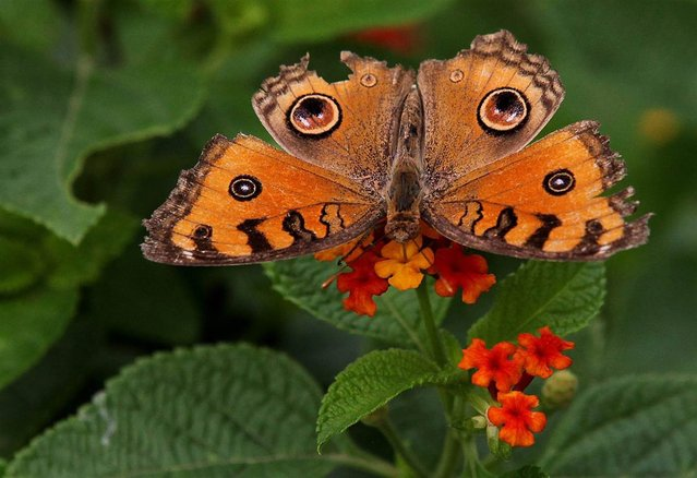 A peacock pansy butterfly perches on a plant after a brief spell of rain at Lodhi Garden in New Delhi, India, on September 17, 2012. (Photo by Harish Tyagi/EPA)