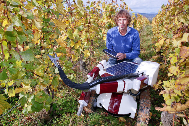 French engineer Christophe Millot stands with his Wall-Ye prototype, a robot designed to prune vines, in the Pouilly Fuisse vineyard during a press presentation near Macon, France, on October 12, 2012. The 50 by 60 centimeter robot, with four wheels and two metal arms, has six web cameras and a GPS and can roll between grapevines, test the soil and check the grapes. With a little more training, Wall-Ye will be able to prune up to 600 vines per day, says his inventor, who has been working on the project for the past three years. (Photo by Robert Pratta/Reuters)