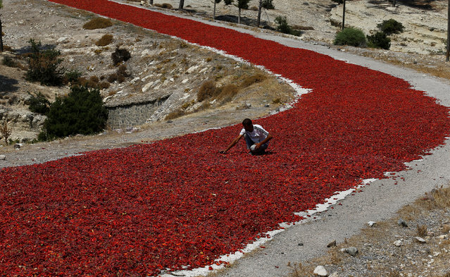 A farmer checks hot peppers laid out on a road to dry under the sun before selling them to factories producing pepper products in Kilis province, Turkey August 29, 2016. (Photo by Umit Bektas/Reuters)