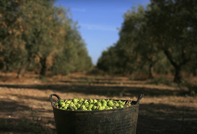 A basket of olives sits in an olive tree field in La Rinconada, near the Andalusian capital of Seville September 24, 2012. (Photo by Marcelo del Pozo/Reuters)