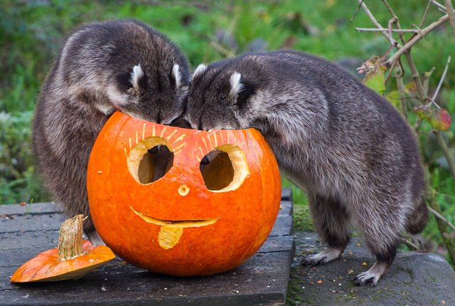 Two raccoons look for food in a hollowed out pumpkin in the zoo in Hanover, Germany, Thursday, October 23, 2014. On Oct. 31 Halloween will be celebrated. (Photo by Ole Spata/AP Photo/DPA)