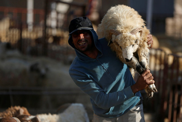 A vendor carries a sheep after selling it to a customer at a livestock market, ahead of the Eid al-Adha festival, in Amman, Jordan September 11, 2016. (Photo by Muhammad Hamed/Reuters)
