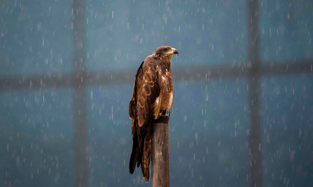 A kite sits on a pole during monsoon rainfalls in New Delhi on August 19, 2020. (Photo by Jewel Samad/AFP Photo)