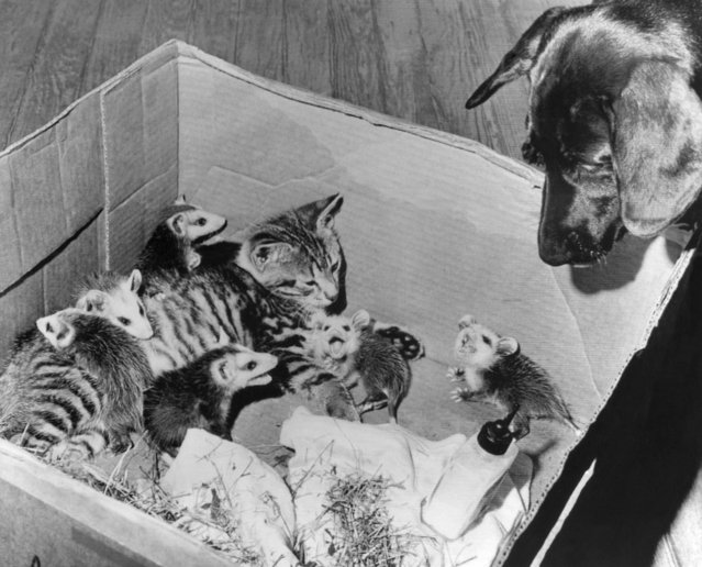 The tomcat, thinking discretion the better part of valor, has made friends with six young, orphaned opossums at Rome Ga., June 22, 1966. Some of the youngsters snarl at an unwelcome intruder, the pooch. The critters were adopted by Gary Poole, 11, of Lindale, a Rome suburb. (Photo by AP Photo)