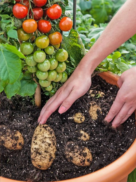 TomTato Plant Grows Both Tomatoes And Potatoes