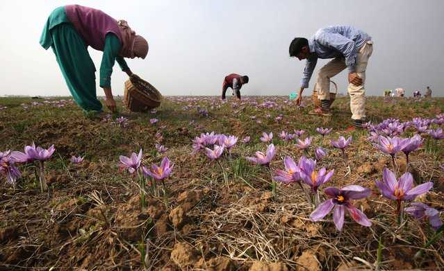 Kashmiri villagers pick saffron flowers from a saffron field in Pampore, some 25 kms south of Srinagar, the summer capital of Indian Kashmir, 02 November 2015. Pampore is famous for its high quality saffron. Kashmir is the only place in India, and one of the few places in the world, where the world's most expensive spice grows. (Photo by Farooq Khan/EPA)