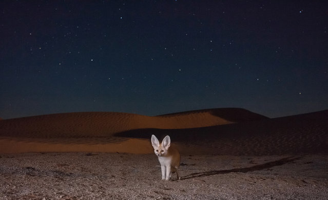 On a starry night an adult fennec fox takes a self-portrait by crossing the infrared beam of a camera-trap setup placed along a trail in the desert dunes. These foxes are active almost exclusively at night and roam large areas to locate their prey in the dark silence of the Sahara. (Photo by Bruno D'Amicis/Fritz Pölking Prize/GDT EWPY 2015)