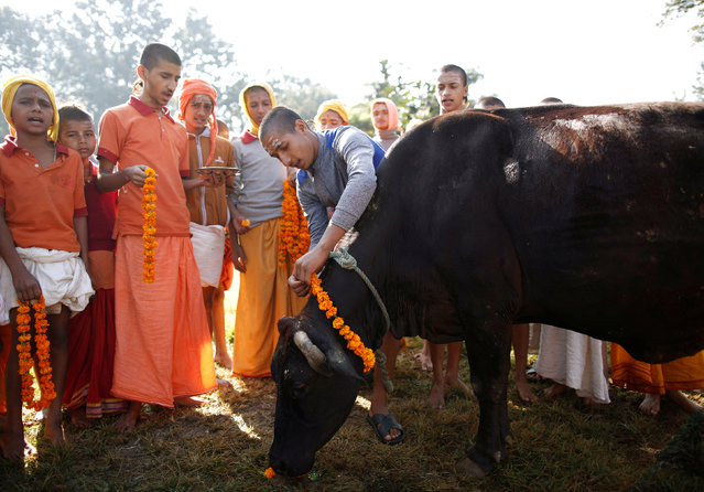 Young Hindu priests offer prayers to a cow during a religious ceremony celebrating the Tihar festival, also called Diwali, in Kathmandu, Nepal October 30, 2016. (Photo by Navesh Chitrakar/Reuters)
