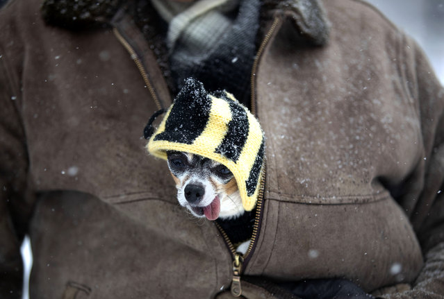 A pedestrian carries his dog in the jacket while walking in the snow in New York, the United States, on February 1, 2021. New York State declared a state of emergency in New York City, Long Island and seven counties in Hudson Valley on Monday as a heavy snowstorm has been hitting the areas hard from Sunday night. (Photo by Xinhua News Agency/Rex Features/Shutterstock)