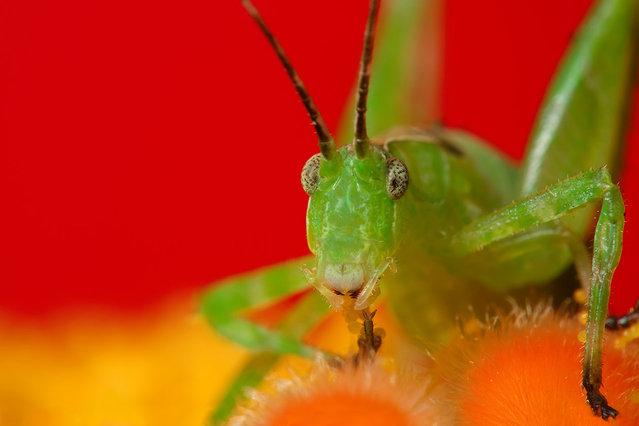 Grasshopper. (Photo by Boris Godfroid)