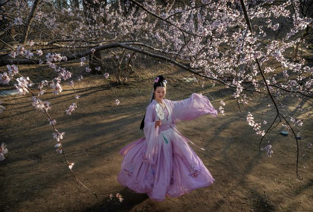 A Chinese woman wears traditional dress, or hanfu, as she has her picture taken by friends next to the first blossoms of spring at a park on March 21, 2021 in Beijing, China. (Photo by Kevin Frayer/Getty Images)