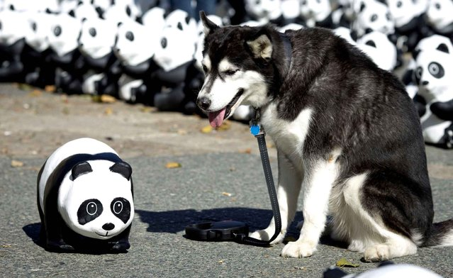 A dog stands next to a Panda figure in Frankfurt am Main, central Germany, on September 2, 2013. The environmental organisation WWF Germany (World Wildlife Fund) wants to draw attention to the shriniking number of just 1600 animals left of this endangered specie. (Photo by Frank Rumpenhorst/AFP Photo/DPA)