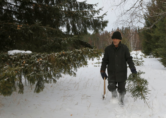 Mikhail Baburin, 66, carries a fir tree which was cut for New Year and Christmas decoration in the Taiga wood near the remote Siberian village of Mikhailovka, Krasnoyarsk region, Russia, December 5, 2016. (Photo by Ilya Naymushin/Reuters)