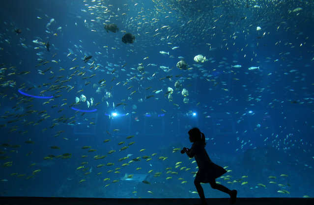 A girl runs to take pictures of fishes in the Resorts World Sentosa's S.E.A. Aquarium in Singapore April 8, 2013. The aquarium, which houses more than 80,000 animals of over 800 species in 42.8 million litres of water, is on Monday the official record holder of two Guinness World Records – for the world's largest aquarium and for the world's largest acrylic panel in its Ocean Gallery, according to local media. (Photo by Edgar Su/Reuters)