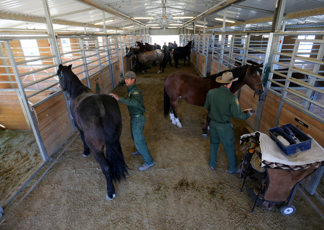 U.S. Border Patrol agents prepare their horses for patrol at their station in Boulevard, California, U.S., November 14, 2016. (Photo by Mike Blake/Reuters)