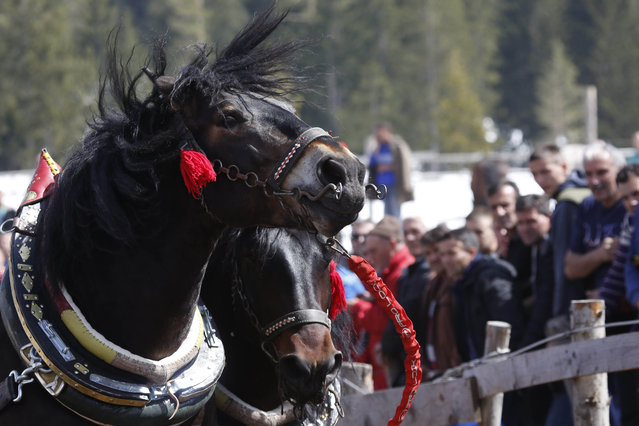 Horses pull logs during festival in Bosnian town of Sokolac 50 kms west of Sarajevo, Bosnia,on Monday, April, 13, 2015. (Photo by Amel Emric/AP Photo)