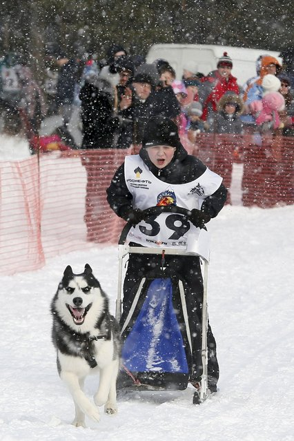 """A boy rides on a sledge behind a Siberian Husky dog during the children's competition, part of the """"Kara-Dag 2016"""" open amateur dog sled and skijoring race near the village of Yelovoye in Taiga district, outside Krasnoyarsk, Siberia, Russia, February 21, 2016. (Photo by Ilya Naymushin/Reuters)"""