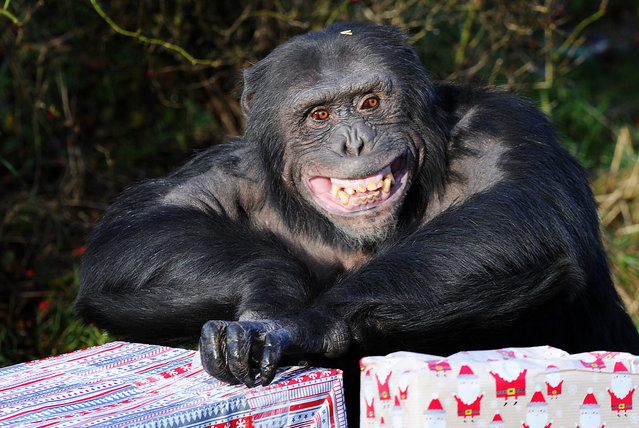 A Chimpanzee opens its Christmas presents at ZSL Whipsnade Zoo on December 17, 2013 in Bedfordshire, England. (Photo by Tony Margiocchi/Barcroft Media)